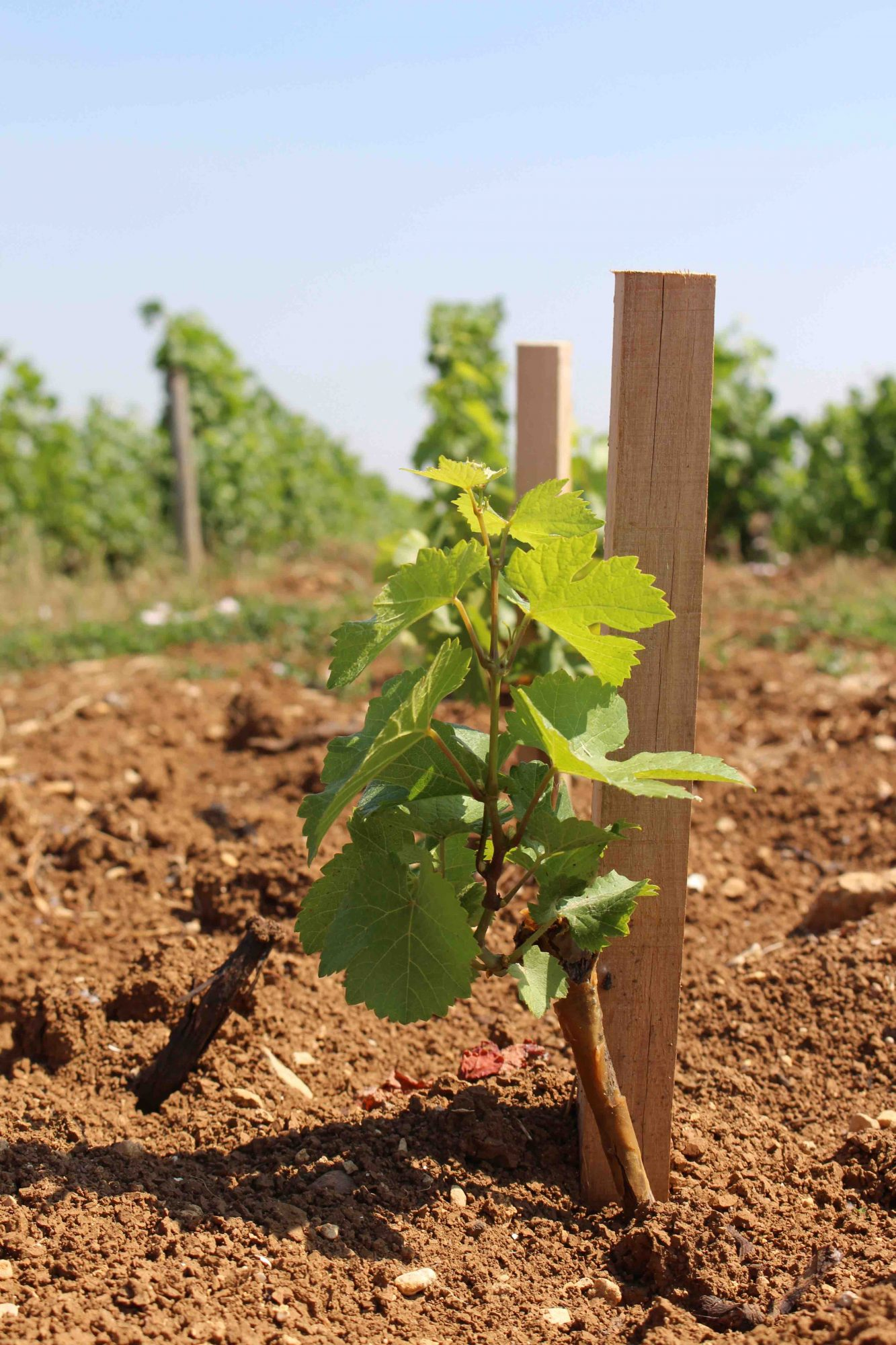 Baby Vines